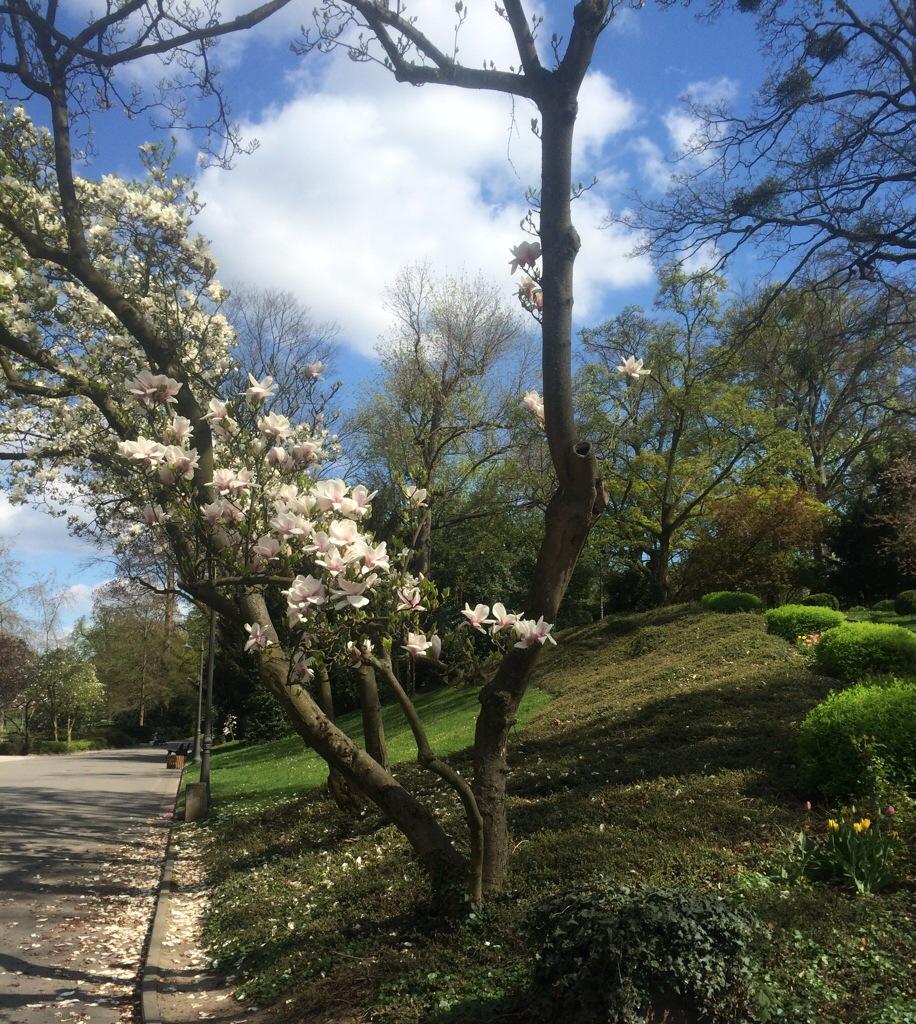 Blühende Magnolienbäume Kurpark Wiesbaden