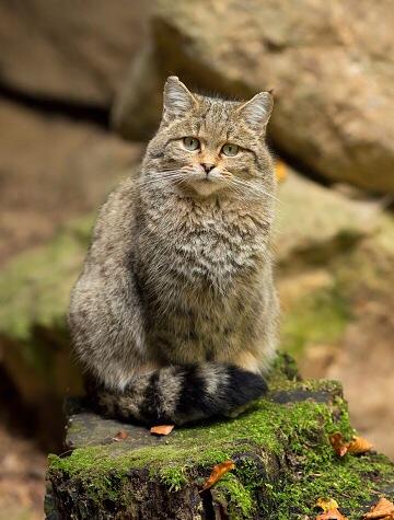 Die europäische Wildkatze (Felis silvestris) kann man im Tierpark Fasanerie aus der Nähe bewundern. Symbolfoto: Thinkstock