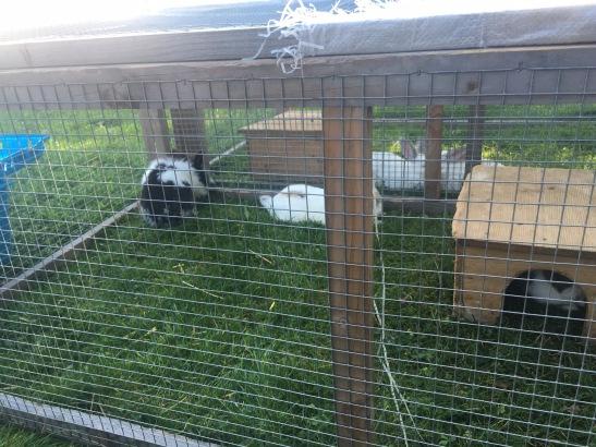 ...hier knabbern Kaninchen...